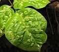 Aceria fraxini leaf galls.jpg