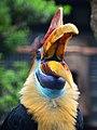 Aceros cassidix (Knobbed Hornbill - Helmhornvogel) - Weltvogelpark Walsrode 2011-08.jpg