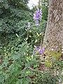 Aconitum variegatum subsp. variegatum sl41.jpg