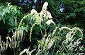 Actaea racemosa 2015-07-15 4399.JPG