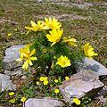 Adonisröschen, 6 crop.jpg