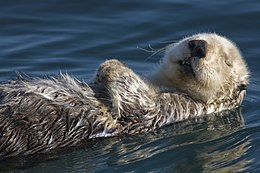 Adult Sea Otter in Morro Bay.jpg