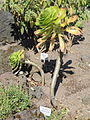 Aeonium arboreum var. rubrolineatum - Botanischer Garten, Frankfurt am Main - DSC03158.JPG