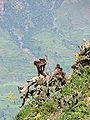 Affe in Äthiopien 4.JPG