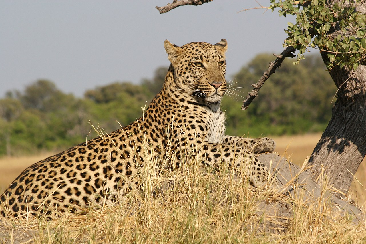 [Image: 1280px-African_Leopard_5.JPG]