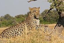 African Leopard 5.JPG