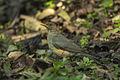 African Thrush - Kakamega Kenya 06 2880 (17208830236).jpg