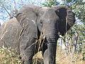 African elephant bull (6987533681).jpg