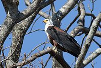 African fish eagle, Haliaeetus vocifer, at Lake Chivero, Harare, Zimbabwe (21746354010).jpg