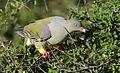 African green pigeon, Treron calvus, Kruger main road near Punda Maria turn-off, Kruger National Park, South Africa (25939683650).jpg