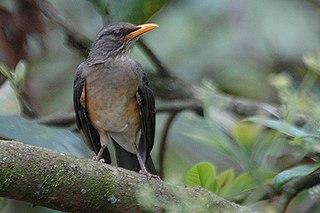 African thrush species of bird