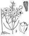 Agalinis paupercula drawing.png