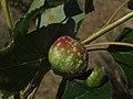 Agalla - Pemphigus (7494229320).jpg