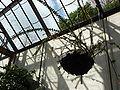 Agapetes serpens (Ericaceae) plant.jpg