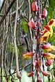 Agyrtria franciae viridiceps = Amazilia franciae viridiceps (Andean emerald) (29508656650).jpg