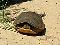 Alabama red-bellied turtle US FWS.jpg