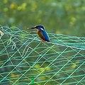 Alcedo atthis, Common Kingfisher 2.jpg