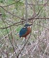 Alcedo atthis at Soestbach in Soest (Germany).JPG