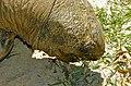 Aldabra Tortoise (Dipsochelys dussumieri) (9176751719).jpg