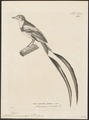Alectrurus guirayetapa - 1700-1880 - Print - Iconographia Zoologica - Special Collections University of Amsterdam - UBA01 IZ16500237.tif
