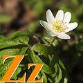 Alfabet roślin - literka Z.jpg