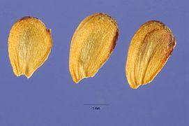 Alisma plantago-aquatica seeds.jpg