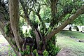 All Saints Church, Nazeing, Essex, England ~ churchyard east sprouting yew 02.JPG