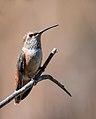 Allen's-Rufous Hummingbird (f) (34973246283).jpg