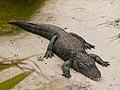 Alligator mississippiensis - Oasis Park - 04.jpg