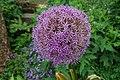 Allium Kultivar.jpg