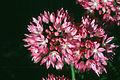 Allium amplectens.jpg