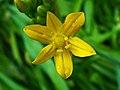 Allium moly 002.JPG