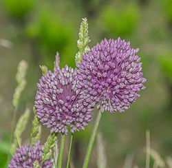 Allium polyanthum in Herault 01.jpg