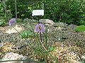 Allium schoenoprasum var orientale1.jpg