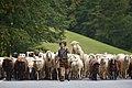 Almabtrieb der Schafe 2014 in Schoppernau 03.JPG