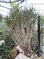 Aloe dichotoma var. ramosissima - Palmengarten Frankfurt - DSC01740.JPG