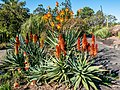 Aloe spp in Arid Zone garden Brisbane Botanic Gardens Mt Coot-tha L1020689.jpg