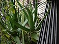 Aloe vera (3963180162).jpg