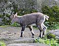 Alpensteinbock Capra ibex ibex Tierpark Hellabrunn-1.jpg