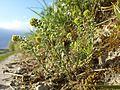 Alyssum alyssoides sl10.jpg