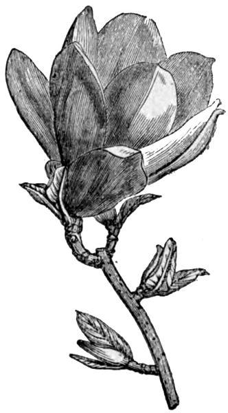kwitnący kwiecień magnolia ogród łobzów