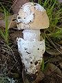 Amanita velosa (Peck) Lloyd 39928.jpg