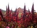 Amaranthus hybridus in a garden, late summer.jpg