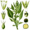 Amaranthus retroflexus, Thomé 1885-1.png