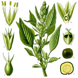 Amaranthus retroflexus - Amaranthus retroflexus L., from Flora von Deutschland Österreich und der Schweiz by Otto Wilhelm Thomé (1885)