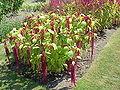Amaranthus tricolor3.jpg
