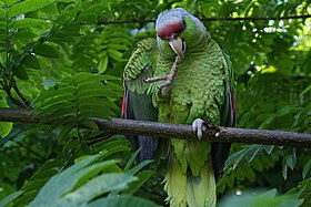 Amazona finschi -perching on branch-8.jpg