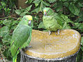 Amazona ochrocephala -chained-4.jpg