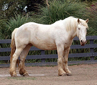 Rare breed (agriculture) - The American Cream Draft is listed as critically endangered by the American Livestock Conservancy