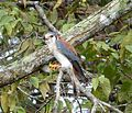 American Kestrel. Falco sparverius sparveroides - Flickr - gailhampshire.jpg